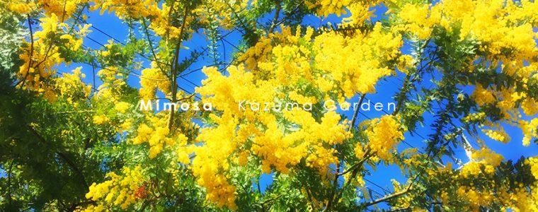 鮮やかなミモザの黄色