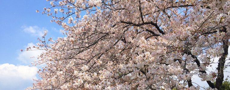 桜を見て思う人生