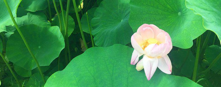 蓮の花見会