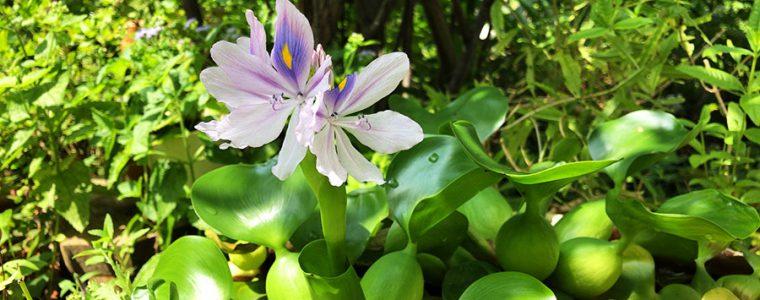 ホテイアオイに花