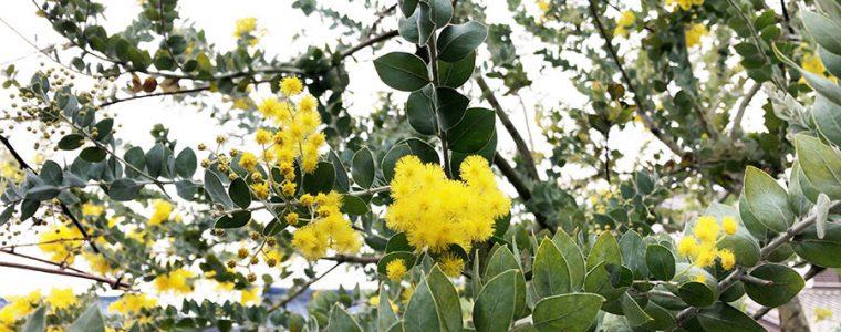 花咲くミモザ